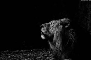 König Der Löwen Tapete : hintergrundbilder schwarz einfarbig portr t nacht natur fotografie l we tierwelt ~ Frokenaadalensverden.com Haus und Dekorationen