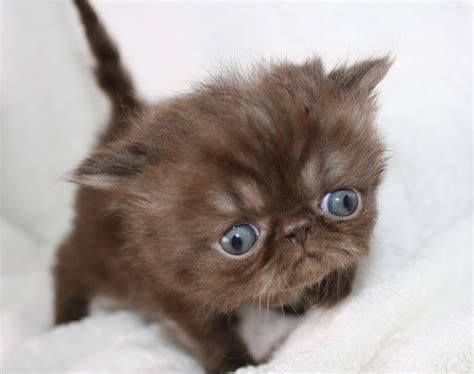 Kittens For Sale by Himalayan Kittens For Sale Upcoming Kittens For Sale
