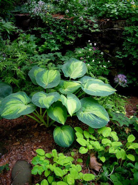 hosta shade hosta blue angel carolyn s shade gardens