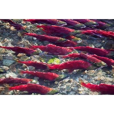 Saving Wild Salmon: A 165 Year Policy Conundrum: Bob