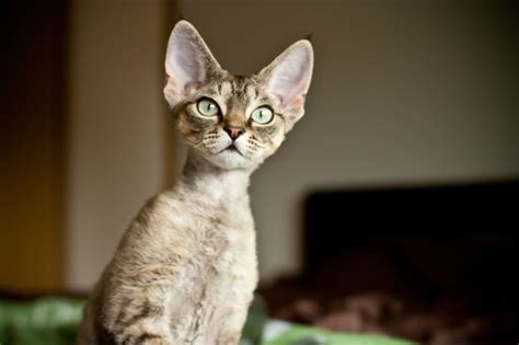 Devon Rex Cat Breed Information, Pictures, Characteristics