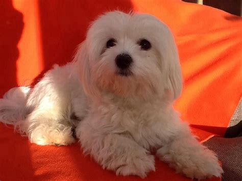 My Maltese Is In Heat Now Looking For Kc Maltese 1 Bedroom Basement For Rent In Silver Spring Finish My Cheap Walkout House Plans Canada Concrete Floor Finishes Iceberg Drains Basements Flooring Carpet