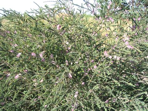 melaleuca decussata cross leaved honey myrtle