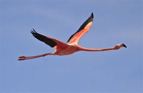 do flamingos fly beautiful flamingo flying flamingo facts and information