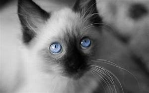 Image - Cats-innocence-animal-white-cat-blue-eyes-kitten ...
