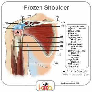Human Shoulder Muscles Diagram