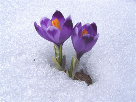 pictures of crocus crocus neapolitanus photos diagrams topos summitpost