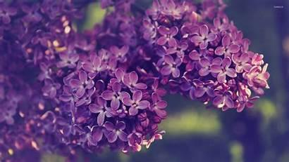 Lilac Desktop Purple Wallpapers Background Backgrounds Definition