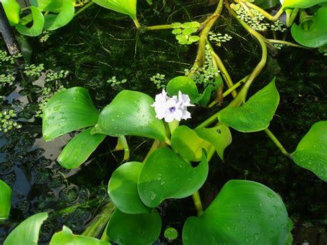 Eichhornia azurea (Swartz) Kunth
