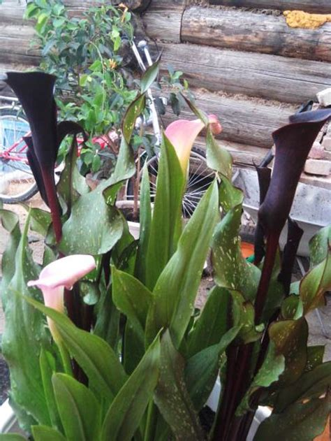 calla lily flowers add gracious beauty  landscaping