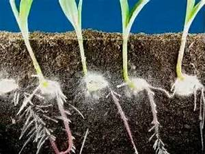 Time laps of corn seeds sprouting and growing. Plant ...