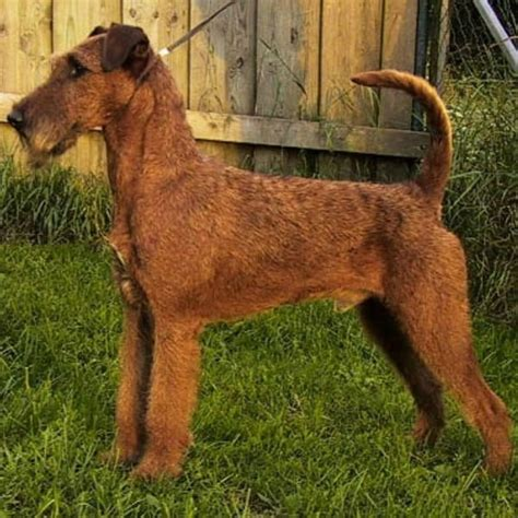 do hypoallergenic dogs shed hypoallergenic dogs 28 dogs that don t shed