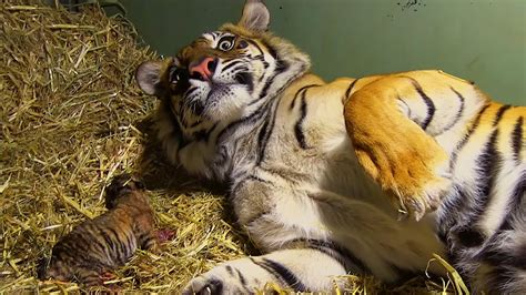 birth  twin tiger cubs tigers   house bbc
