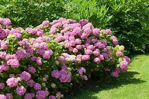 Hortensien Pflege Balkon : freiland hortensien die besten pflegetipps ~ Lizthompson.info Haus und Dekorationen