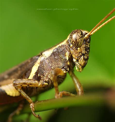 grasshopper photo gallery neezhom