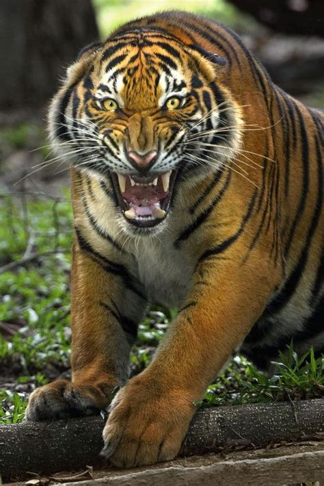 Images About Tigers Beautiful Pinterest