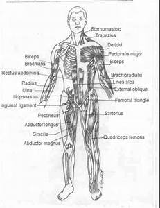Muscles Of The Chest Diagram Picture