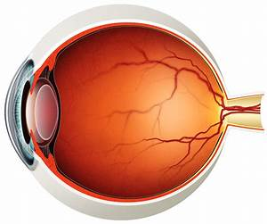 Human Eye Diagram Without Labels
