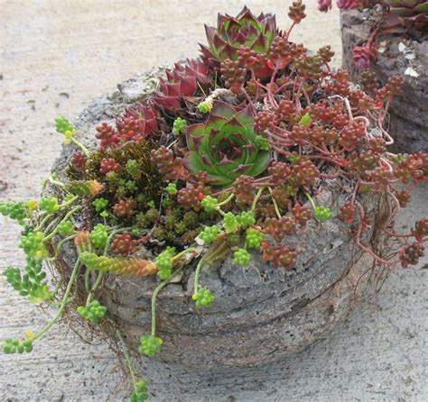 watering succulents in containers growing succulents in containers gardener s supply