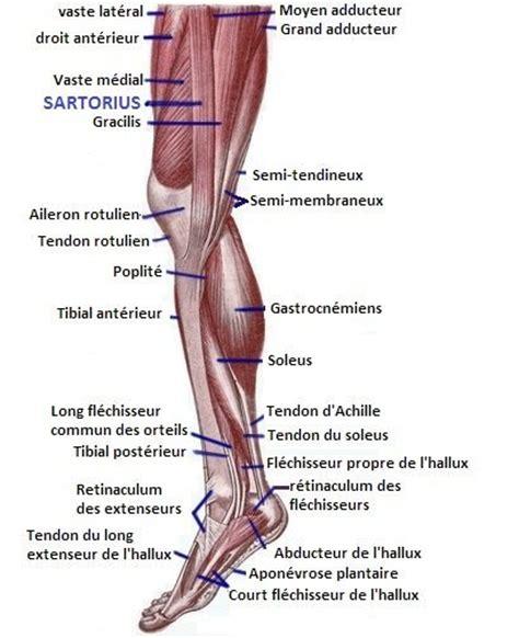 anatomie du genou les os et les articulations page 3 kinesitherapie24