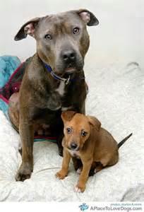 Golden Retriever Pitbull Mix Puppies