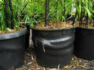 growing and maintaining bamboo