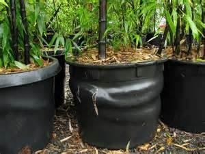 phyllostachys nigra quot black bamboo quot