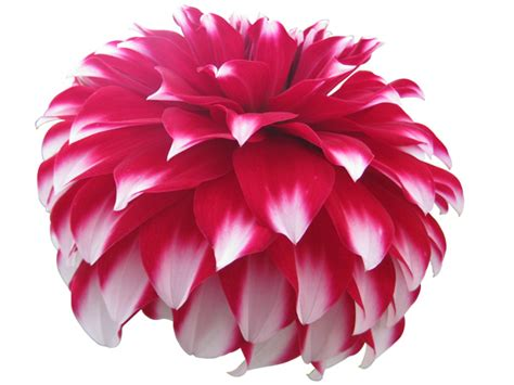 dahlia flower psd  picture  downloads  add ons