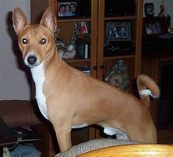 basenji dog breed information  pictures