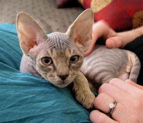 cat breeds that don t shed 21 low shed and cats that don t shed for easy grooming