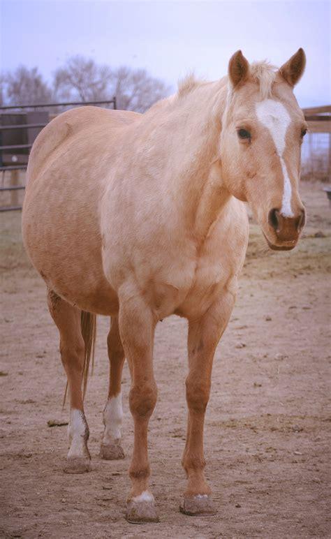 adopted horses colorado horse rescue