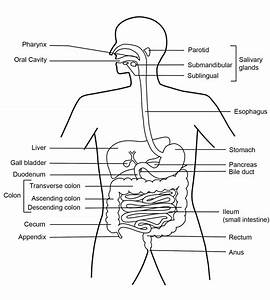 Function Of The Digestive System