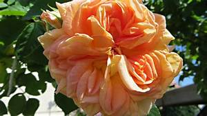 Zitruspflanzen Gelbe Blätter : hausmittel bei rosenrost so bringen sie ihre rosen wieder zum bl hen ~ Orissabook.com Haus und Dekorationen