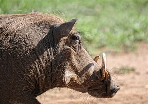 photo warthog animal mammal  image