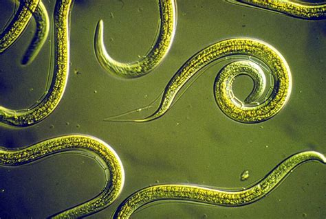 Nematodes: The Tiny Creatures That Rule The Earth