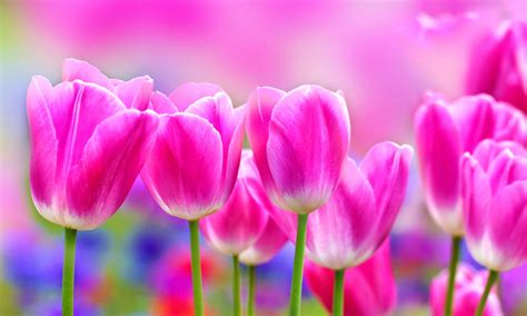 tulips hd wallpapers free hd wallpapers high