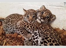 Jaguar cubs born at Elmwood Park Zoo get names Philly
