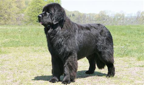 newfoundland dog breed information