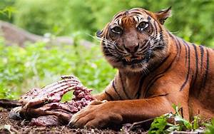 India launches hunt for man-eating tigress they fear has ...