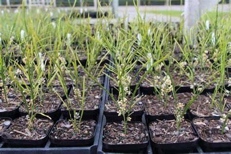 Carmichaelia Australis X 10 Plants