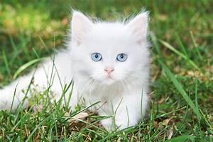 White Angel Kitten Fluffy Blue Eyed Animals Hd Wallpaper ...