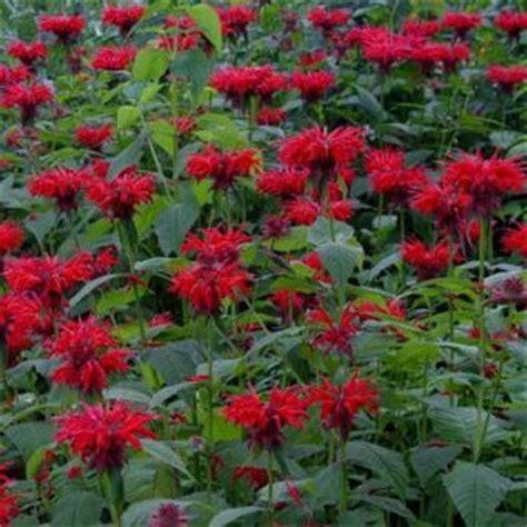 do deer eat bee balm monarda flower seeds scarlet bee balm seed