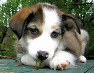 Beagle Husky Mix   www.pixshark.com - Images Galleries ...