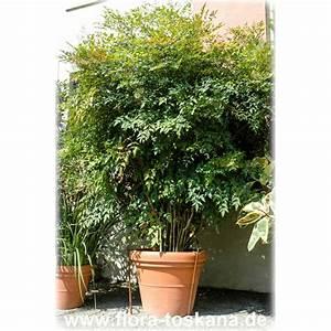 Bambus Pflanzen Kübel : nandina domestica xxl heiliger bambus himmelsbambus nandine flora toskana ~ Frokenaadalensverden.com Haus und Dekorationen
