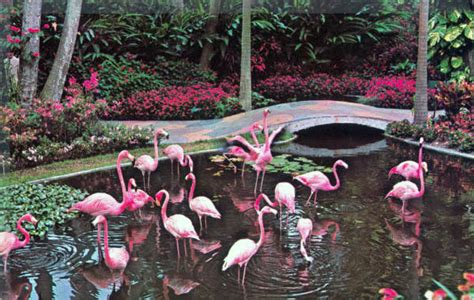 florida memory flamingos   sunken gardens saint