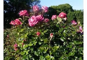 Rosier Grimpant Remontant : rosier parfum royal grimpant les roses de la c te d meraude ~ Melissatoandfro.com Idées de Décoration