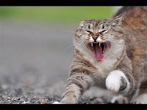Katzen In Mietwohnung 2016 : katzen miauen sehr w tend b se katzen 2016 youtube ~ Lizthompson.info Haus und Dekorationen