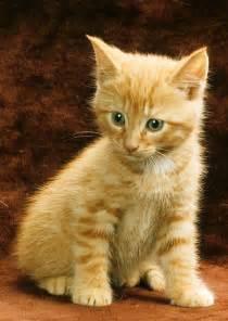 orange tabby cat orange tabby mixed breed kitten photograph by larry allan