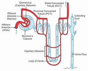 Describe The Structure Of A Nephron With The Help Of A