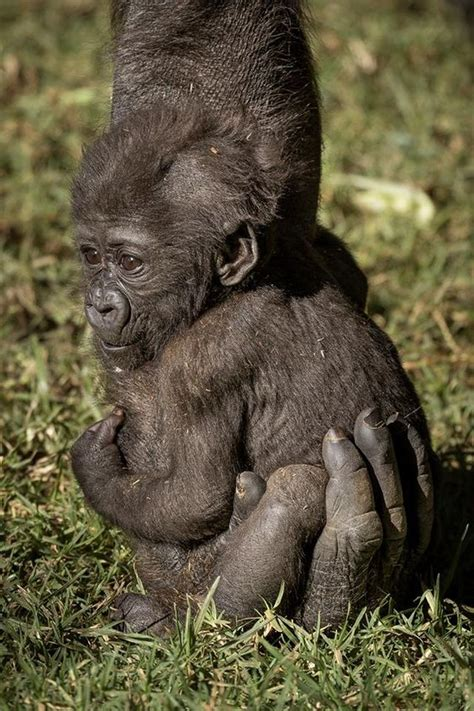 cute baby gorilla holding  parents arm luvbat